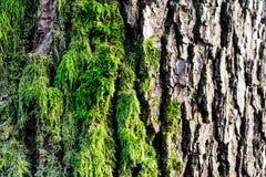 Musgo verde crecido encima de la cubierta las piedras ásperas en la demostración más forrest con la visión macra Rocas por comple Fotos de archivo libres de regalías