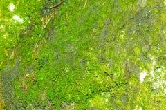 Musgo verde da montanha Foto de Stock Royalty Free