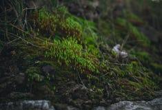 Musgo verde del bosque en primavera temprana El despertar de la naturaleza Fotografía de archivo libre de regalías