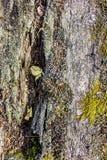 Musgo verde e cinzento em uma árvore Imagem de Stock