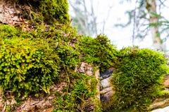 Musgo verde en cierre de la corteza de árbol Fotos de archivo libres de regalías