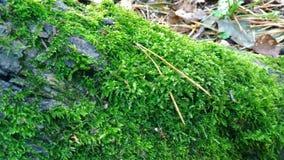 Musgo verde en la corteza de abedul Fotografía de archivo