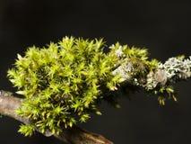 Musgo verde en macro de la corteza con el fondo del bokeh, foco selectivo Imagenes de archivo
