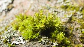 Musgo verde en macro de la corteza con el fondo del bokeh, foco selectivo Fotografía de archivo
