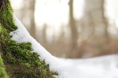 Musgo verde en raíces de un árbol cubierto parcialmente con nieve en un día de invierno soleado brillante imagen de archivo