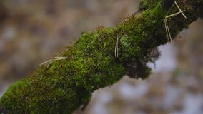 Musgo verde en una rama de árbol en última caída tiro cinemático, cámara lenta Primer almacen de video