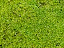 Musgo verde fresco brillante con descenso del agua Fondo verde del musgo del abandono en naturaleza Fotos de archivo