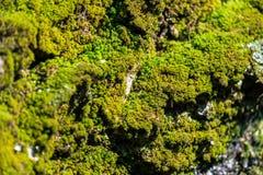 Musgo verde, iluminado pelos raios do sol da mola Textura, fundo e cor naturais da superf?cie natural org?nica imagens de stock