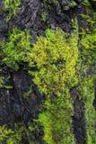 Musgo verde na árvore Fotos de Stock