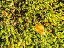 Musgo verde na floresta com folha pequena fotografia de stock royalty free