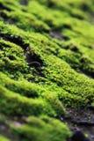 Musgo verde na parede Foto de Stock Royalty Free