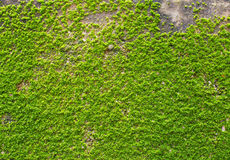 Musgo verde na textura da parede Imagem de Stock