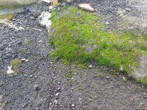Musgo verde que crece en la roca Fotos de archivo libres de regalías