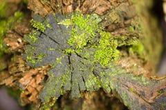Musgo verde que crece en un tocón de árbol Fotografía de archivo