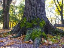 Musgo verde surpreendente em uma árvore velha Fotografia de Stock Royalty Free