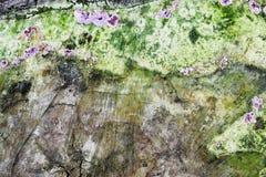 Musgo verde y purpúreo claro en la pared de piedra vieja imagenes de archivo