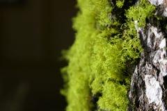 Musgo y corteza del árbol Imagen de archivo libre de regalías