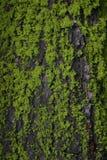 Musgo y corteza del árbol Foto de archivo
