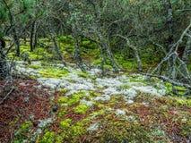 Musgo y liquen que crecen en bosque del pino Imagen de archivo libre de regalías
