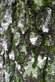Musgo y liquen verdes en corteza de abedul Fotos de archivo libres de regalías