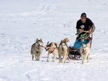 Perros de trineo internacionales de la raza, musgos, Suiza Fotografía de archivo