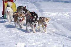 Mush race. Six husky dogs in a mush race competition Royalty Free Stock Photo