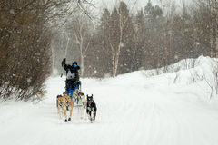 Musher и собаки в гонке собаки скелетона Стоковые Фото