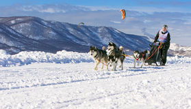 Musher de la mujer que oculta detrás de trineo en la raza de perro de trineo en nieve en los wi Fotos de archivo
