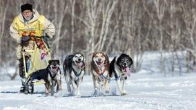 Musher do Alasca running de Kamchatka da equipe do cão de trenó Copo do russo da raça de cão de trenó, competência de cão Beringi Fotografia de Stock Royalty Free
