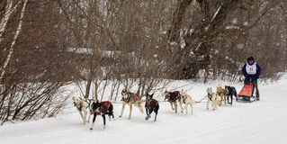 Musher and Dogs in Sled Dog Race Royalty Free Stock Image