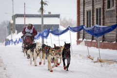 Musher and Dogs in Sled Dog Race Stock Photo