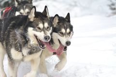 Musher dogteam driver and Siberian husky at snow winter competition race in forest. Stock Photo