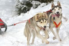 Musher dogteam driver and Siberian husky at snow winter competition race in forest. Stock Image