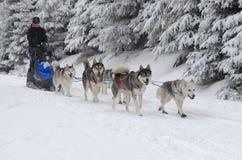 Musher en zijn hond die Siberische Huskies sledding royalty-vrije stock afbeelding