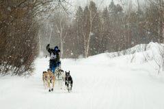 Musher et chiens dans la course de chien de traîneau Photos stock
