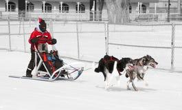 Musher fêmea novo e sua equipe do cão Fotografia de Stock