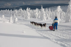 Musher and her dogsled Stock Images