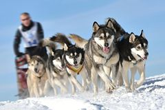 Musher hiding behind sleigh at sled dog. Race on snow in winter Stock Photo