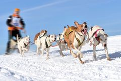 Musher hiding behind sleigh at sled dog Stock Image