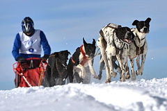Musher hiding behind sleigh at sled dog. Race on snow in winter Stock Photography