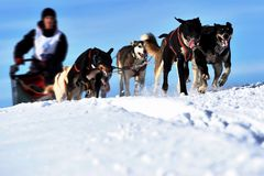 Musher hiding behind sleigh at sled dog Royalty Free Stock Images