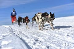 Musher hiding behind sleigh at sled dog Stock Photography