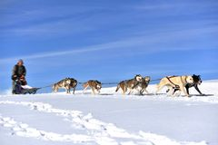 Musher hiding behind sleigh at sled dog. Race on snow in winter Royalty Free Stock Image