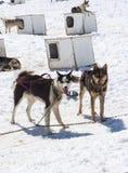 Musher läger - Husky Dogs Royaltyfri Fotografi