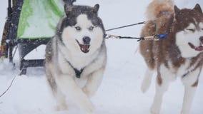 Musher que oculta detrás de trineo en la raza de perro de trineo en la cámara lenta metrajes