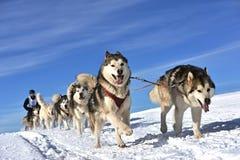 Musher que oculta detrás de trineo en la raza de perro de trineo en nieve en invierno Fotografía de archivo