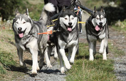 Musher Race. Sports with dogs. Dog-carting team Stock Photography