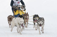 Musher and team of sled dog Royalty Free Stock Photography