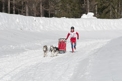 Musher and team of sled dog Stock Images