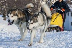 Musher und Hunde Pasterka im kleinen Dorf in den Tabellen-Bergen - Polen Lizenzfreie Stockbilder